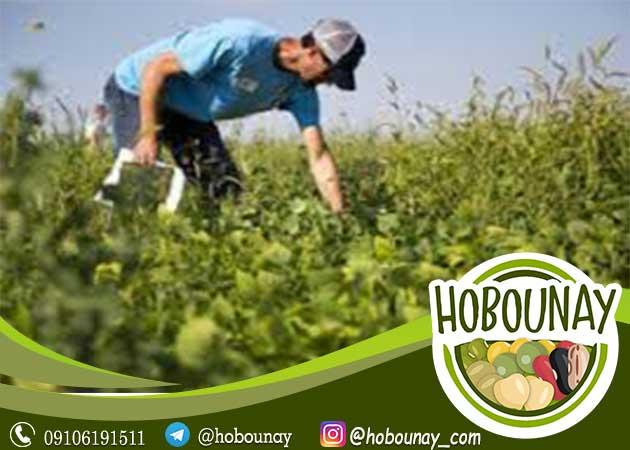 خرید حبوبات مستقیم از کشاورز